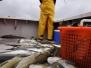 Stellwagen Codfishing